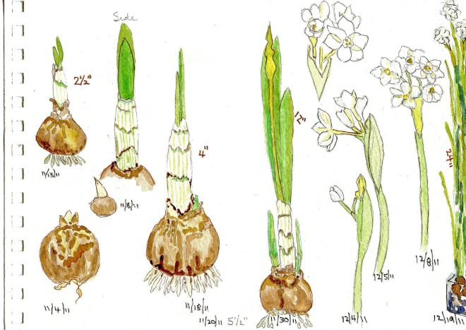 growing-paperwhites